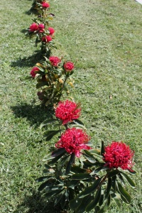 Shady Lady Waratahs